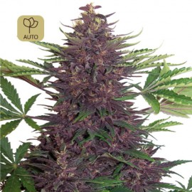 Purple Kush Auto · Buddha Seeds