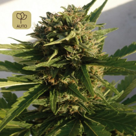 Red Dwarf Auto · Buddha Seeds