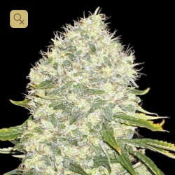 White Widow Feminizada (Bulk Seed Bank)