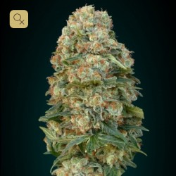 Afghan Skunk Fem (Advanced Seeds) 1