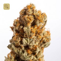 Chocolate Haze 1 · Mr. Natural Seeds