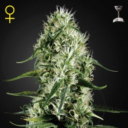 Super Silver Haze · Green House