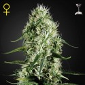 Super Silver Haze Fem (Green House Seeds)