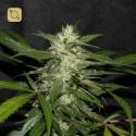 Sweet Chunk BX1 Regular (Alpine Seeds)