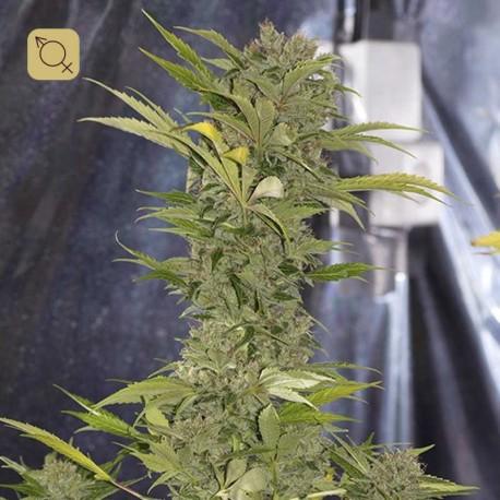 X-Dog Regular (Alpine Seeds)