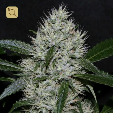 OG Kush Lemon Larry IBL Regular (Alpine Seeds)