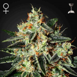 Cheese Fem (Green House Seeds)