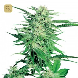 Big Bud · Sensi Seeds