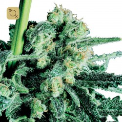 Sensi Skunk Regular · Sensi Seeds