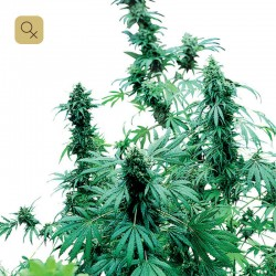 Early Skunk · Sensi Seeds