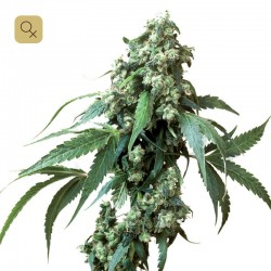Jack Flash #5 · Sensi Seeds