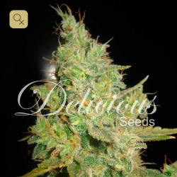 Critical Kali Mist · Delicious Seeds