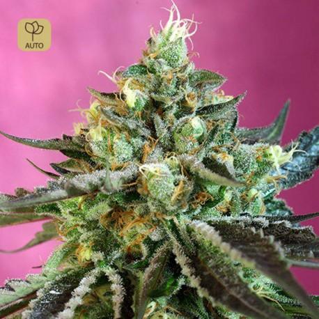 Sweet Nurse Auto CBD · Sweet Seeds