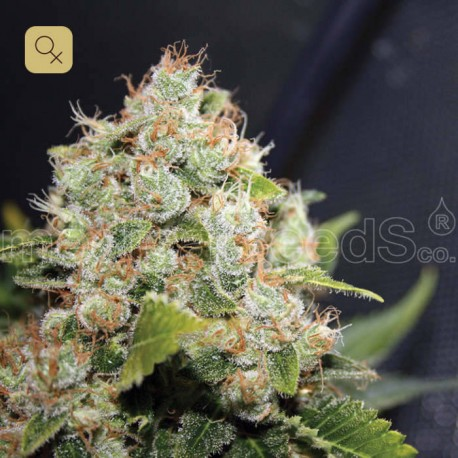 BCN Sour Diesel · Medical Seeds