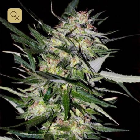 Jack Plant Fem (Advanced Seeds)
