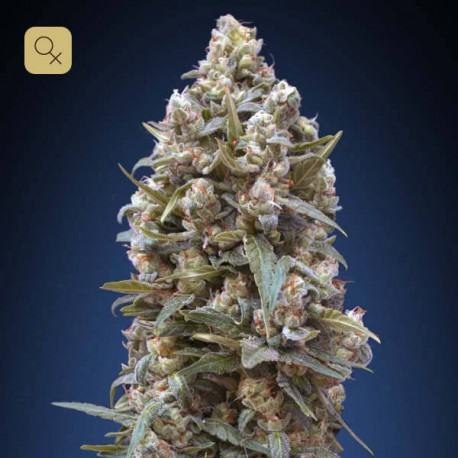 00 Kush Fem (00 Seeds)