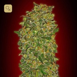 Chocolate Kush Fem · 00 Seeds