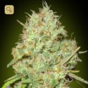 Shark Widow Fem (Advanced Seeds)