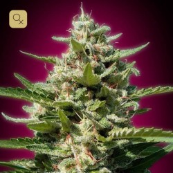 White Kush Fem (Advanced Seeds)