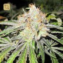 Deep Neville Regular (Medical Seeds)