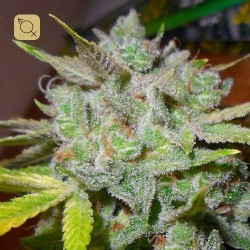 Banana OG Regular · Apothecary Genetics Seeds