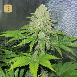 Prozack · Medical Seeds