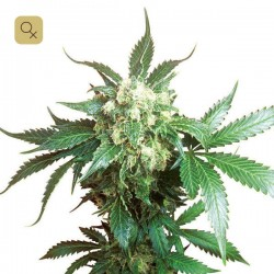Black Domina · Sensi Seeds