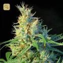 Psicodelicia Fem (Sweet Seeds)