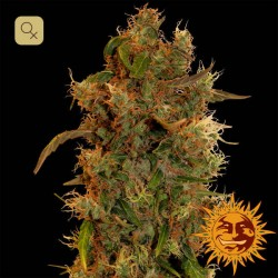 8 Ball Kush · Barney´s Farm