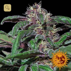 Ayahuasca Purple · Barney's Farm