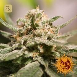 CBD Critical Cure · Barney's Farm