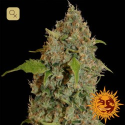 Chronic Thunder · Barney's Farm