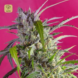 Crystal Candy Auto · Sweet Seeds