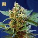 Cream Mandarine XL Auto (Sweet Seeds)