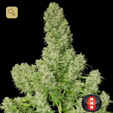 White Russian · Serious Seeds