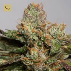 707 Truthband by Emerald Mountain · Humboldt