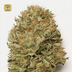Blue Dream Auto · Humboldt