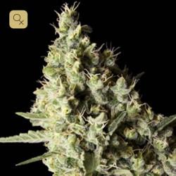 Narkosis · Blimburn Seeds