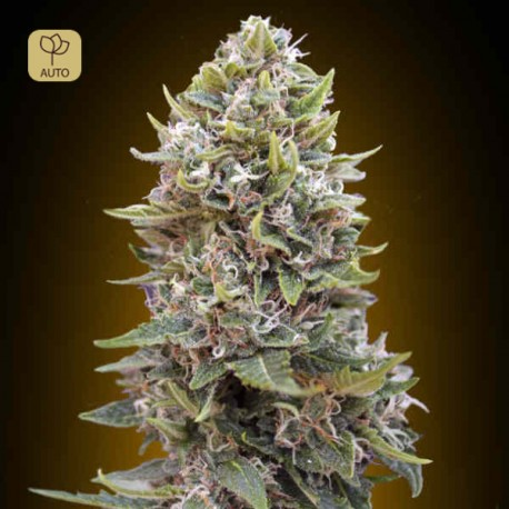 Auto Cheese Berry · 00 Seeds