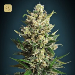 Ice Kush · Advanced Seeds