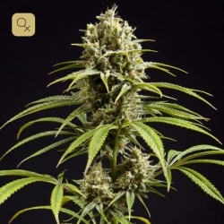 Fruity Jack / Jack El Frutero · Philosopher Seeds