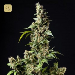 Orange Candy / Naranchup · Philosopher Seeds