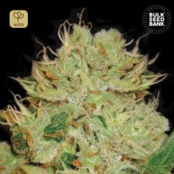 Auto Bigger Bud · Bulk Seeds Bank