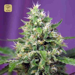 Blow Mind Auto · Sweet Seeds