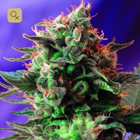 Jack 47 · Sweet Seeds