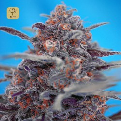 Devil Cream Auto · Sweet Seeds