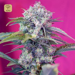 Cream Mandarine Auto · Sweet Seeds