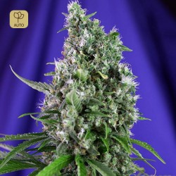 Sweet Trainwreck Auto · Sweet Seeds