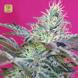 Sweet Cheese Auto · Sweet Seeds