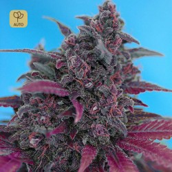 Dark Devil Auto · Sweet Seeds
